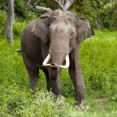Male Asian elephant in India. By Yathin S Krishnappa, 2005.