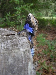 "A male fence lizard with male-type bright blue ""badges"" outlined in black. [Credit: Langkilde Lab]"