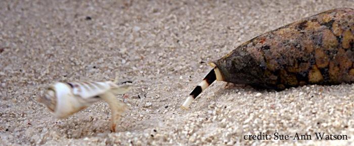 Jumping snail (left) jumping away