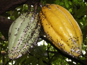 Dolichoderus ants guard mealybugs (white) on cacao pods. Mealybugs feed from the cacao pods and provide sugary secretions to the ants. The patrolling ants prevent other more damaging herbivores from attacking the cacao pods.