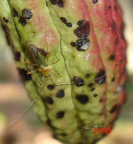 Helopeltis sp. pierces cacao pods and sucks nutrients from the plant; the black spots are