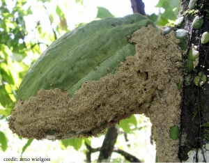 "Philidris ants create ""tents"" that cover their mealybug herds on cacao pods. These tents are made of plant debris, including pieces of other cacao pods infected with Phytophthora. These tents accelerate the spread of Phytophthora among cacao pods. [credit: Wielgoss]"