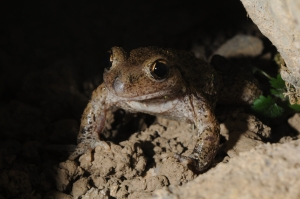 Alytes obstetricans, the common midwife toad. It is very susceptible to Bd infection. [Credit: Schmeller]