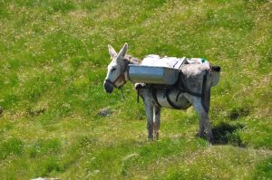 A hardy donkey helped transport water samples from the lakes to the lab.  [Credit: Schmeller]