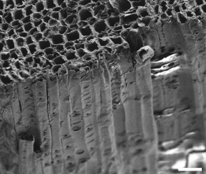 Scanning electron microscope image of cut section showing tracheid. Water travels in them from roots to leaves. They look like straws or pipes, no? Scale bar is 40 µm.  [Credit: Boutilier MSH, Lee J, Chambers V, Venkatesh V, Karnik R (2014) Water Filtration Using Plant Xylem. PLoS ONE 9(2): e89934. doi:10.1371/journal.pone.0089934]