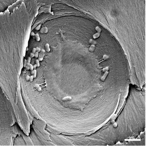 SEM images showing bacteria accumulated on the membrane of pits found on xylem after filtration. Scale bar is 2 µm. [Credit: Boutilier MSH, Lee J, Chambers V, Venkatesh V, Karnik R (2014) Water Filtration Using Plant Xylem. PLoS ONE 9(2): e89934. doi:10.1371/journal.pone.0089934]