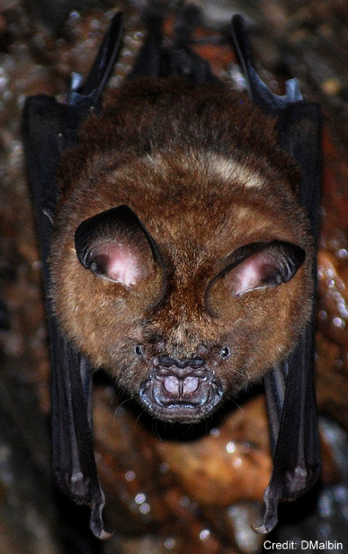 A wrinkle-lipped free tail bat (Tadarida plicata)