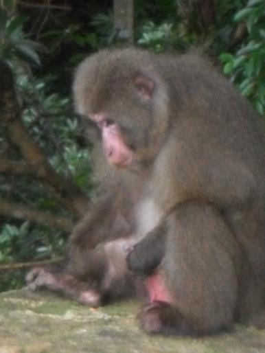 Yaku macaque adult male masturbating. Credit: R. Thomsen.