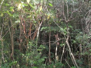 Subtropical rainforest on Yakushima Island.  Thomsen monitored Yaku macaques here. Credit: R. Thomsen