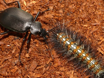 Calosoma beetle trying to penetrate the long, barbed hairs of a Lemyra imparilis caterpillar. Only half of the beetles managed to kill a Lemyra caterpillars within ten minutes. [Credit: Shinji Sugiura]
