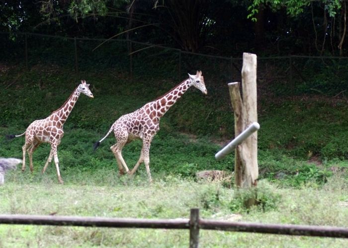 Giraffes galloped across the field. credit: YHLaw