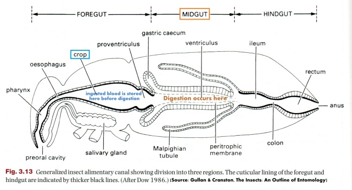 Generalized diagram of insect digestive system.  Food eaten by the insect is first kept in the crop, then moved to the midgut for digestion. [modified from Gullan & Cranston]