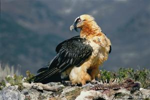 Bearded vulture in the wild. [Credit: Antoni Margalida]