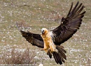 Bearded vulture arriving at a food station, Spain. [Credit: Brendan Marnell@IBC]