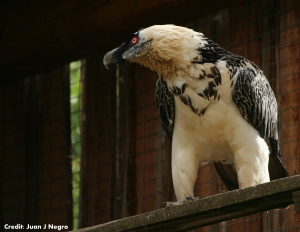 Captive bearded vulture, without iron oxides in the plumage. [credit: JJNEgro]