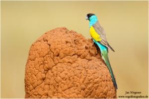 Hood parrot on mound. Northern Territory, Australia. [credit: J. Wegener]