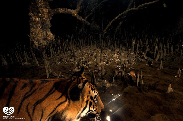 Bengal tigers prowl the Sundarbans mangroves in the night. [credit: Tim Laman]